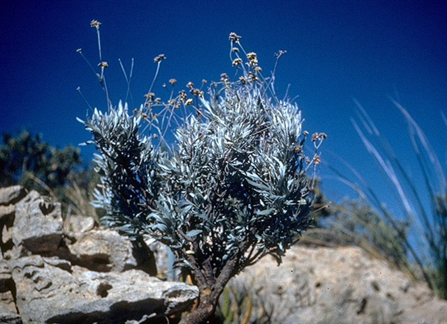 The guayule plant can produce a substitute source of rubber. Photo by U.S. Department of Agriculture.